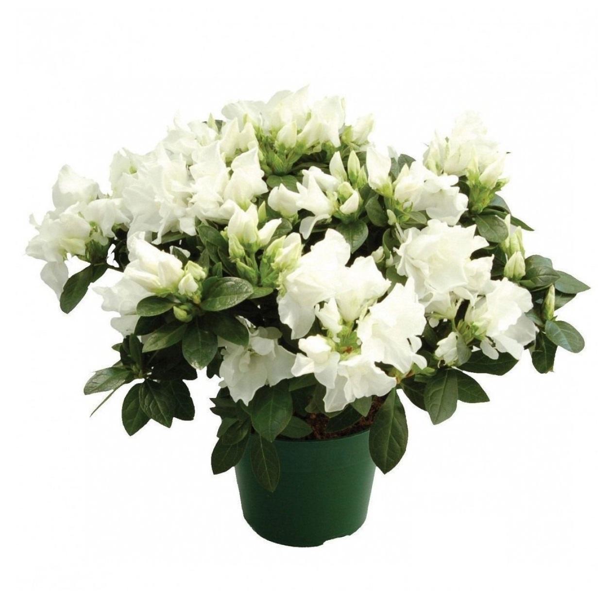 торговлей комнатный цветок с белыми цветами фото можно