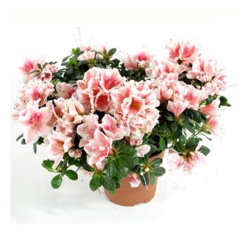 Купить цветы азалия в украине, цветов