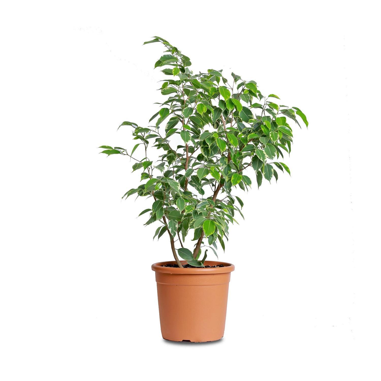 каталог комнатных деревьев фото с названиями огороде или теплице