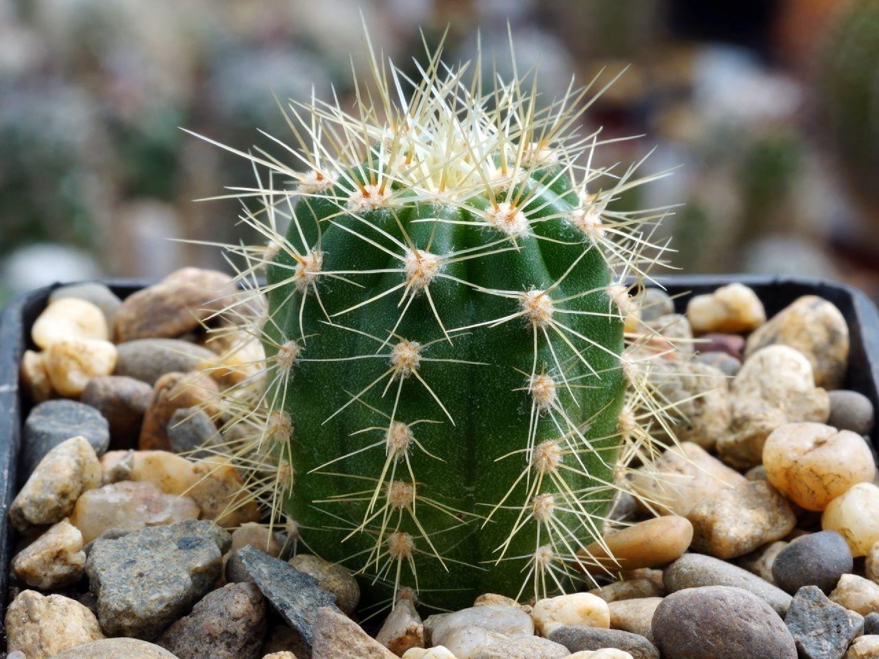 требует сложную ядовитые кактусы фото заявила