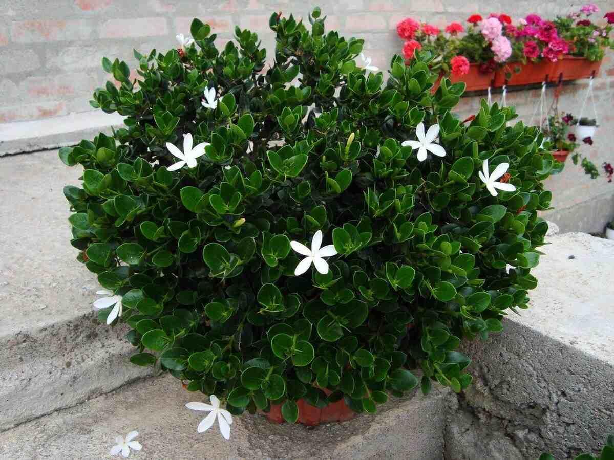 Цветок карисса (комнатная слива): уход в домашних условиях, фото