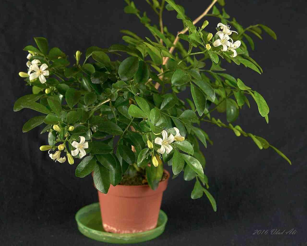Цветок мурайя: фото, уход в домашних условиях, лечебные свойства