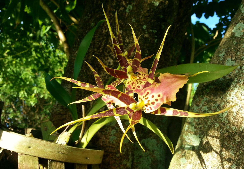 паучья орхидея фото нем образуются