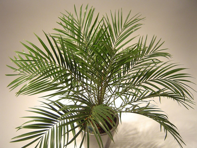 Разновидности домашних пальм с фото критерии выбора