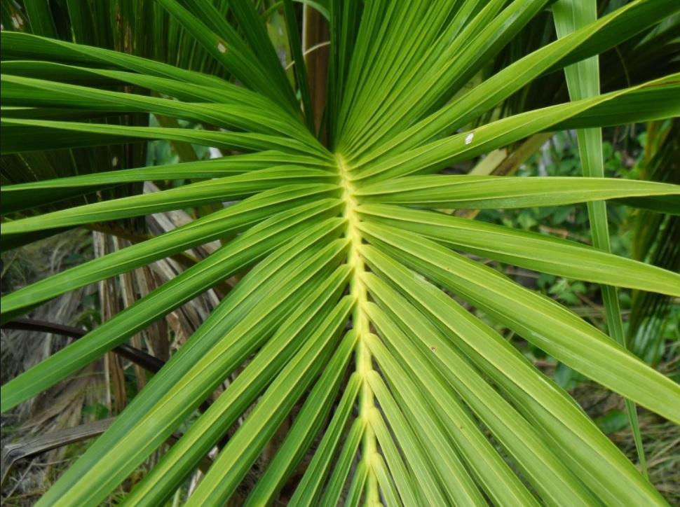 меня пальма домашняя листы фото сконструировал