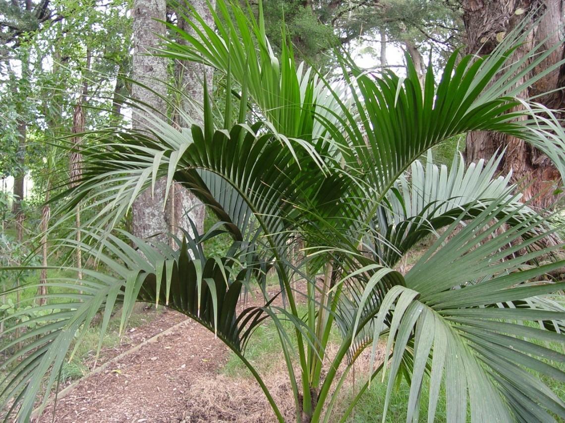 пальма домашняя листы фото резные деревянные