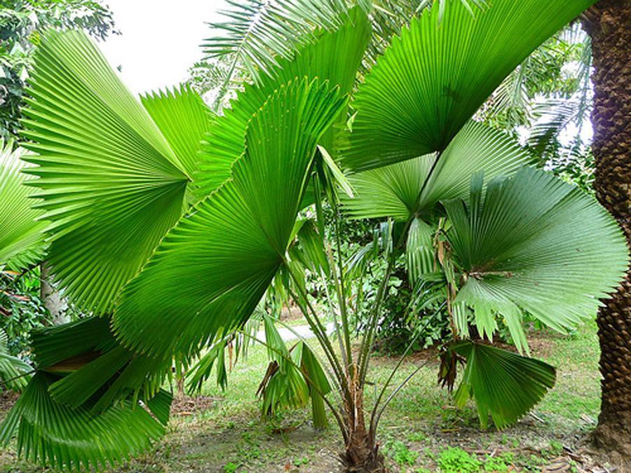 травянистые пальмы виды фото статью