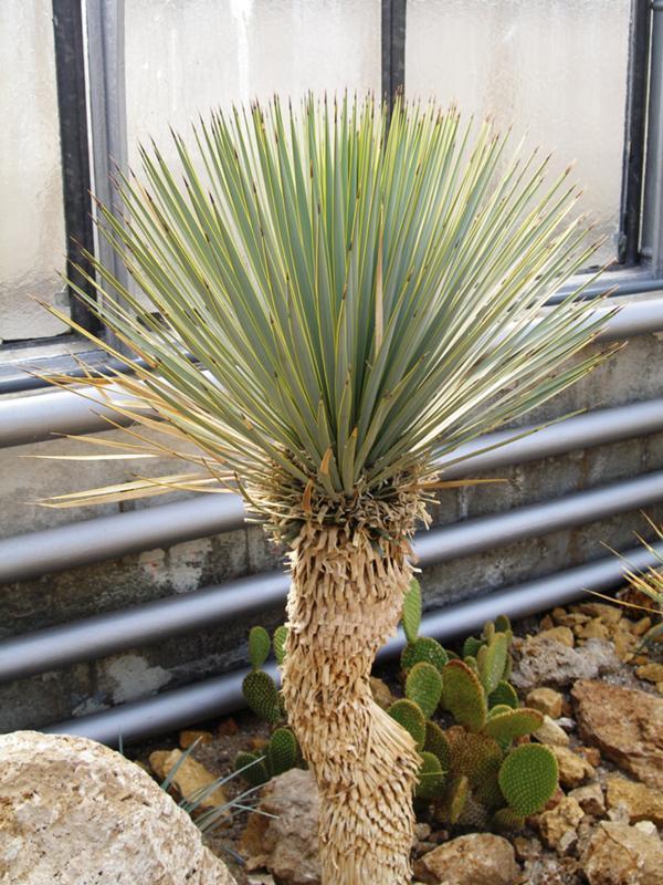 виды пальмы юкка с фото