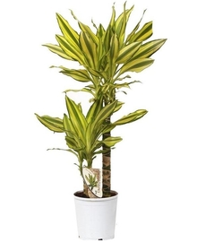 Драцена Голден Кост 2 ствола (Dracaena Golden Coast) D21 H100