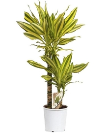 Драцена Голден Кост 2 ствола (Dracaena Golden Coast) D17 H80