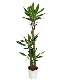 Драцена Голден Кост 3 ствола (Dracaena Golden Coast) D30 H140