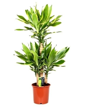 Драцена Голден Кост 3 ствола (Dracaena Golden Coast) D25 H120