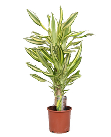 Драцена Елоу Кост (Dracaena Yellow Coast) D17 H50