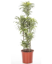 Драцена Елоу Кост карусель (Dracaena Yellow Coast) D25 H100