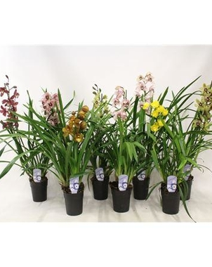 Цимбидиум 3st Mix (Cymbidium) D15 H80