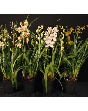 Цимбидиум 4/5st Mix (Cymbidium) D15 H80