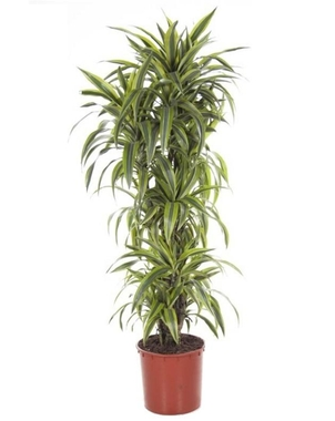 Драцена Лемон Лайм куст (Dracaena Lemon Lime) D27 H140