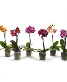Фаленопсис Mini 1st Little Lady Mix (Phalaenopsis) D6 H17